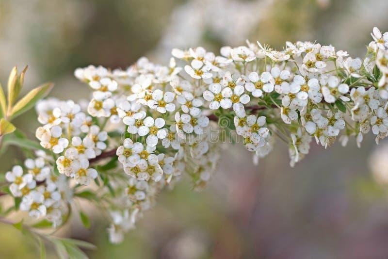 Bakgrund för vykort eller design vita små blommor på en filial med bokeh Spiraea Cinerea Grefsheim arkivfoton