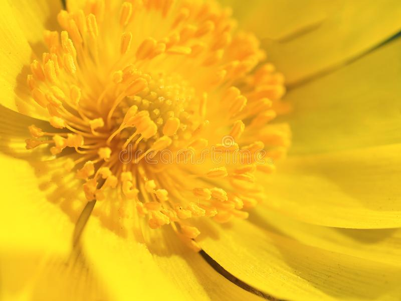Bakgrund f?r blomma f?r makroskottguling Blom- makro royaltyfri bild