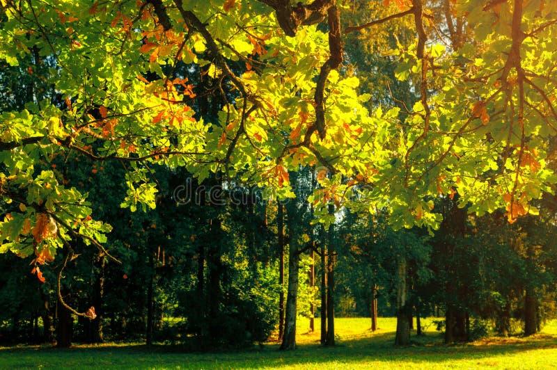 Bakgrund f?r h?stsidor - ekfilialen med orange l?vverk t?nde vid solsken, soligt h?stlandskap i ljust solljus royaltyfri foto