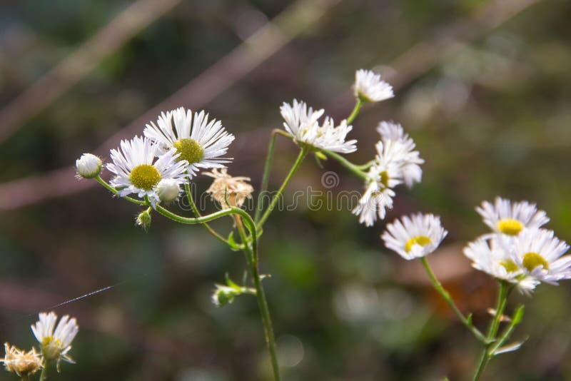 Bakgrund f?r kamomillblommaf?lt Fält för blommor för vit tusensköna för sommar arkivfoton