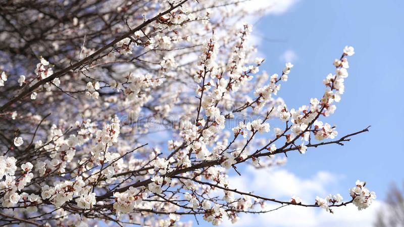 Bakgrund f?r v?rtid Cherry Blossom tr?d, rosa Sakura blommor royaltyfri bild