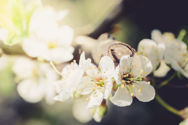 Bakgrund från filialer av äppleträd med vita blommor på blå himmel/solig dag just rained Härlig fruktträdgård Vår arkivbild