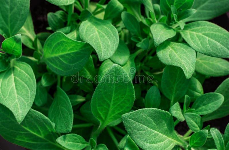 Bakgrund från gröna sidor, närbild Plantor av petunior royaltyfri foto
