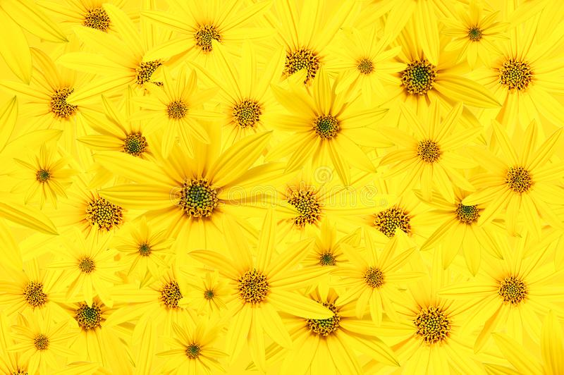 Bakgrund från gula knoppar för trädgård av blommor Arktotis wallpaper arkivbilder