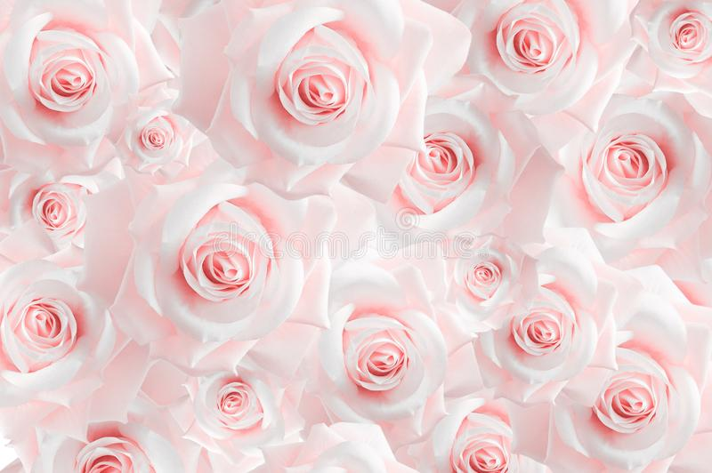 Bakgrund från variation av rosa rosebuds wallpaper Pastellfärgade skuggor royaltyfri fotografi