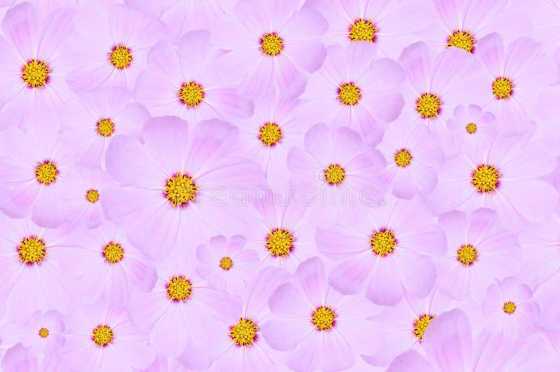 Bakgrund från violetta knoppar för trädgård av blommor Kosmeya wallpaper arkivfoto