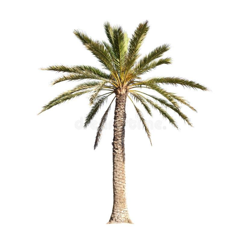 bakgrund isolerad palmträdwhite royaltyfria bilder