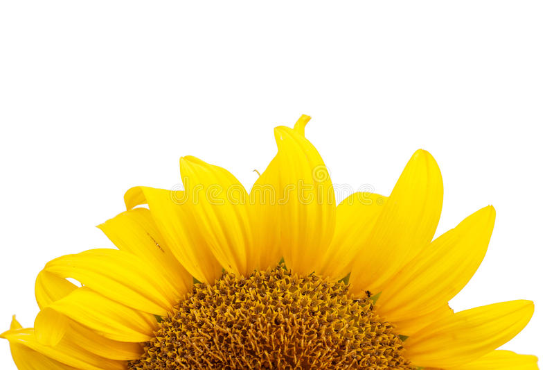 Download Bakgrund Isolerad Solroswhite Arkivfoto - Bild av nytt, gardening: 76701176