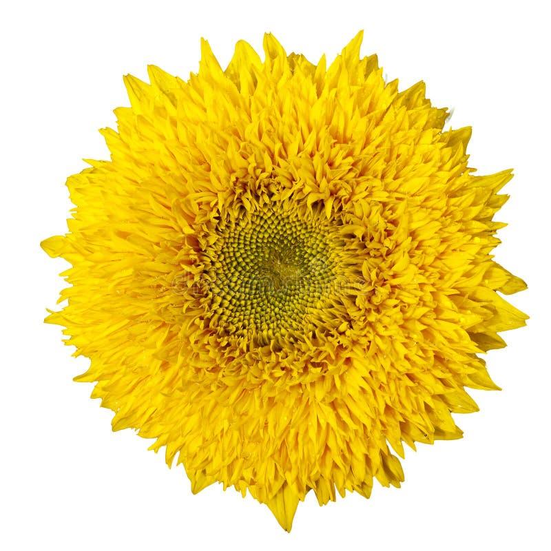 bakgrund isolerad vit yellow för solros royaltyfria foton