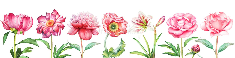 Bakgrund med den röda och rosa pionen för vattenfärgen, steg, vallmo- och amaryllisblommor arkivfoto