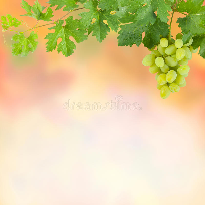 Bakgrund med gröna druvor royaltyfri bild