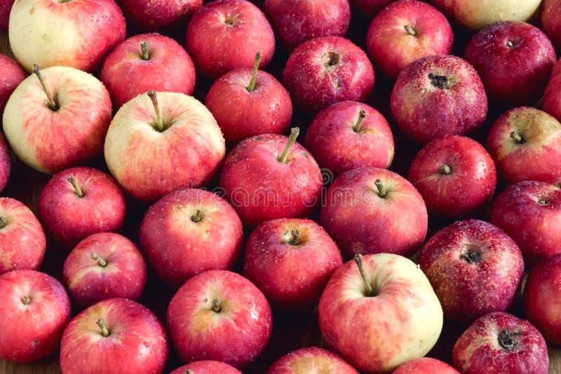 Bakgrund med härliga små äpplen för liten äppleträbakgrund skördar bakgrund över royaltyfri fotografi