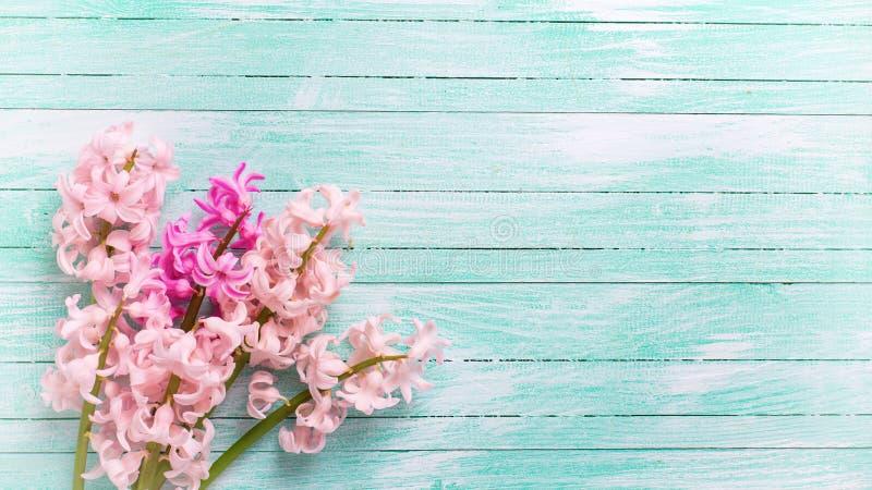 Bakgrund med nya rosa färgblommahyacinter på turkosmålarfärg fotografering för bildbyråer