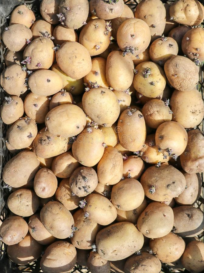 Bakgrund med potatisar royaltyfri foto