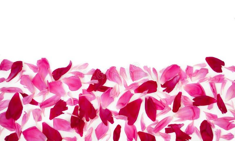 Bakgrund med rosa och röda kronblad av pionen blommar arkivfoto