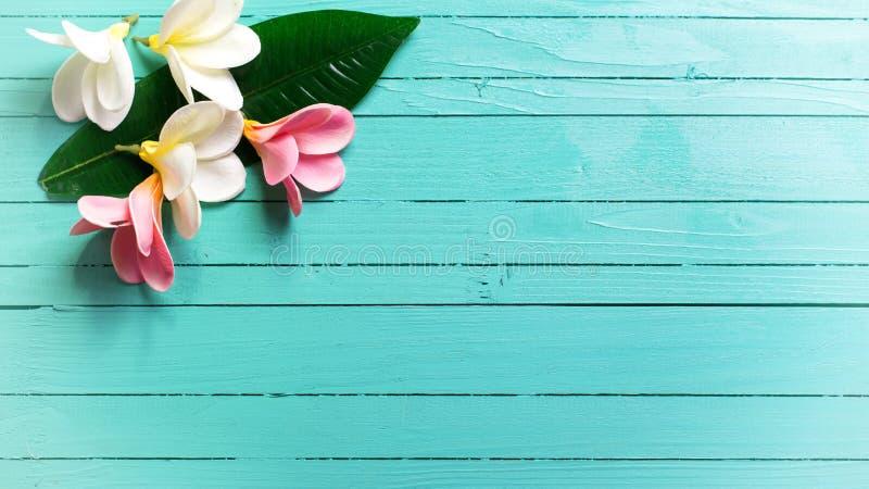 Bakgrund med vit och rosa tropisk plumeria blommar på turq royaltyfri fotografi