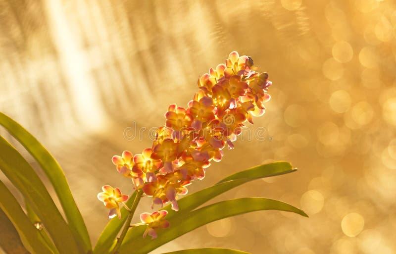 Bakgrund och bokeh för orkidé suddig arkivfoton