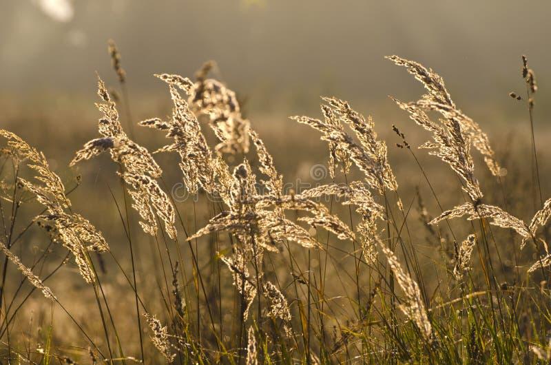 Bakgrund och soluppgång för suddighet för höstmorgongräs tänder fotografering för bildbyråer