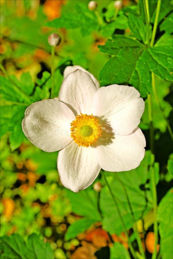 Bakgrund och tapeter för vit blomma för Fragariavesca i bästa högkvalitativa tryck arkivbilder