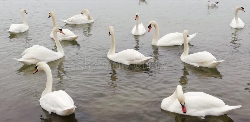 Bakgrund Packe av h?rliga vita svanar p? den tysta yttersidan av havet Behagfulla kungliga f?glar royaltyfri foto