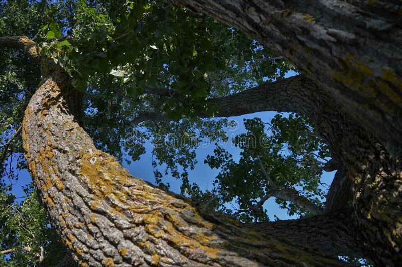 bakgrund som isoleras över white för poplartree royaltyfria foton