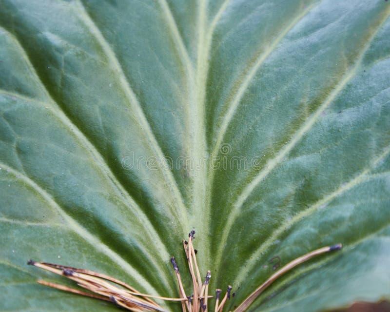 Bakgrund textur, stort grönt blad med åder arkivfoto