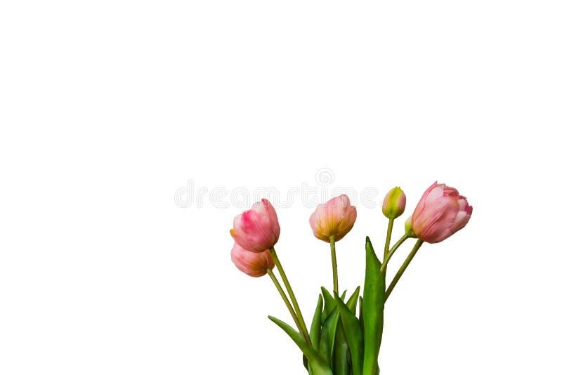 bakgrund vita isolerade rosa tulpan F?rgrika v?rblommor f?r b?sta sikt arkivbild
