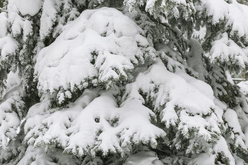Bakgrunden är naturlig Väder vinter, förkylning Filialer av a sörjer trädet som täckas med en snödriva av ny vit snö royaltyfria foton