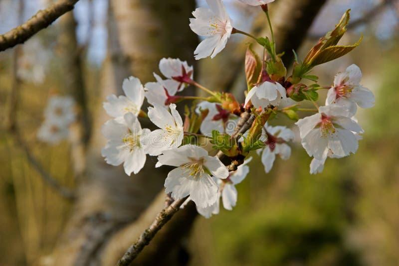 bakgrundsCherry som skapar den glada moodfjädern för blomning arkivbild