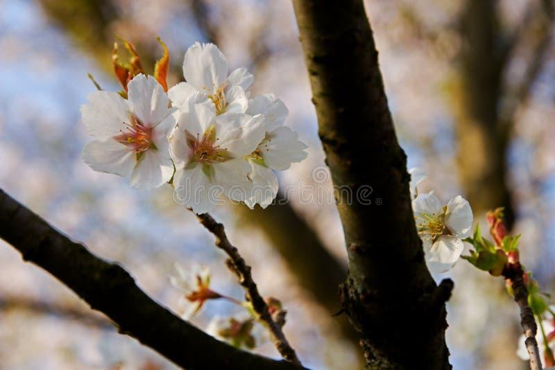 bakgrundsCherry som skapar den glada moodfjädern för blomning arkivbilder