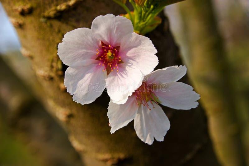 bakgrundsCherry som skapar den glada moodfjädern för blomning arkivfoton