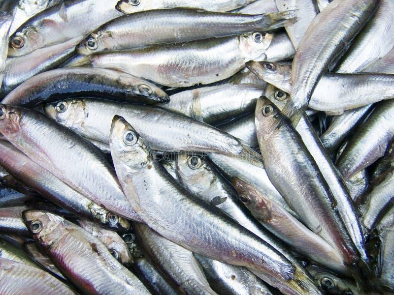 bakgrundsclupeonellafisk royaltyfri foto