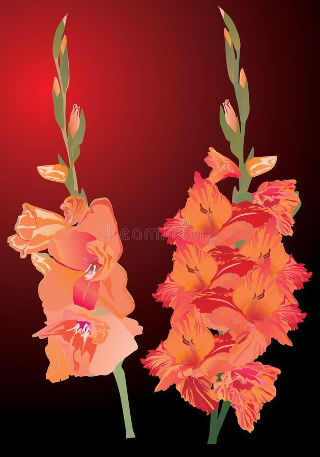 bakgrundsdark blommar gladiolusorangen vektor illustrationer