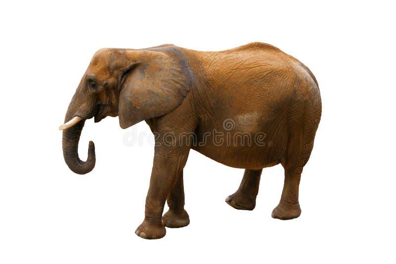 bakgrundselefantwhite arkivfoton