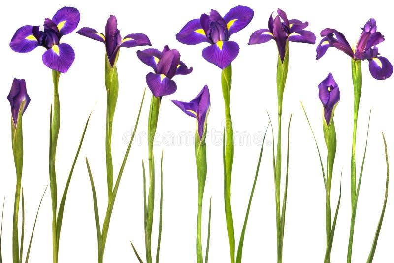 bakgrundsirises isolerade purpur white arkivfoton