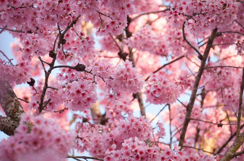 Bakgrundslandskap för körsbärsröd blomning royaltyfri bild