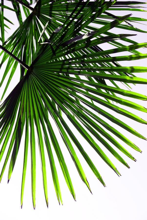 bakgrundsleafen gömma i handflatan tropiskt fotografering för bildbyråer