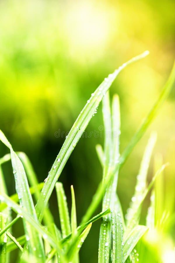 Bakgrundsmakro för grönt gräs Abstrakta naturliga bakgrunder med arkivbild