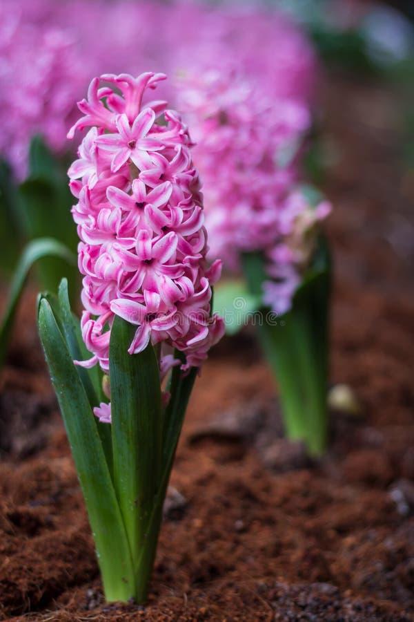 Bakgrundsrosa färgen blommar hyacinter arkivfoton