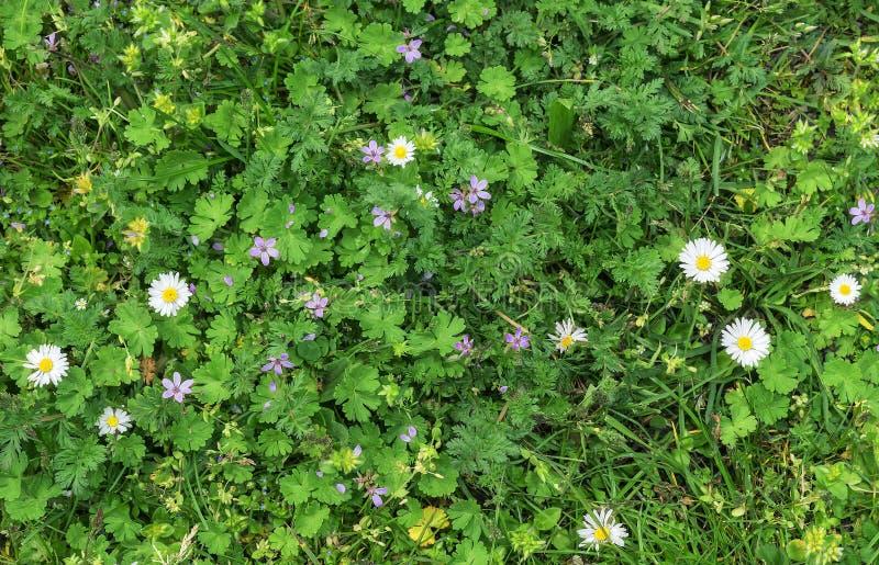 Bakgrundstextur av grönt gräs och vita blommor royaltyfri bild