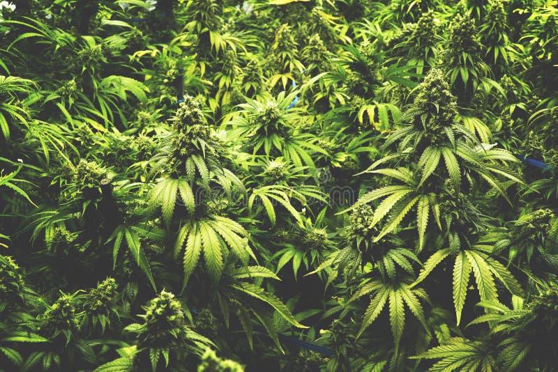 Bakgrundstextur av marijuanaväxter på inomhus stil för cannabislantgårdtappning arkivfoton