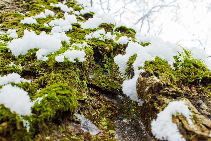 Bakgrundstextur av mossan på skället av ett träd med insnöat den ljusa vinterdagen royaltyfri fotografi