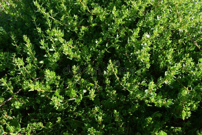 Bakgrundstextur för gröna växter arkivbild