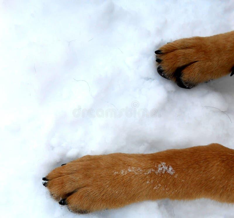 Bakgrundstexturhund 2 tafsar på ungt djurt spela för snö arkivbild