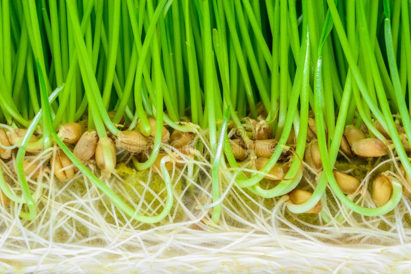Bakgrundsyttersida av crosscut spirat vete med synligt grönt forsar, frö och vitt rotar arkivbild