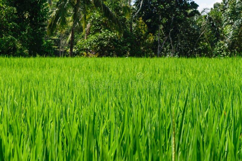 Bakgrundsyttersida av den gröna risfältet i risterrasser i Bali med suddig djungelbakgrund royaltyfri foto