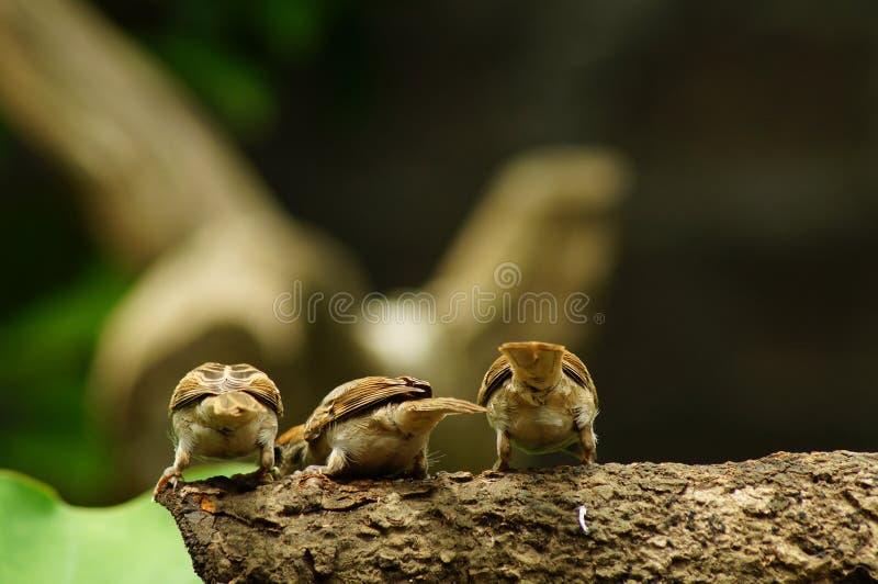 Bakgrupp sittpinne av för den filippinska Maya Bird Eurasian Tree Sparrow eller förbipasserandemontanusen på trädfilial arkivfoton