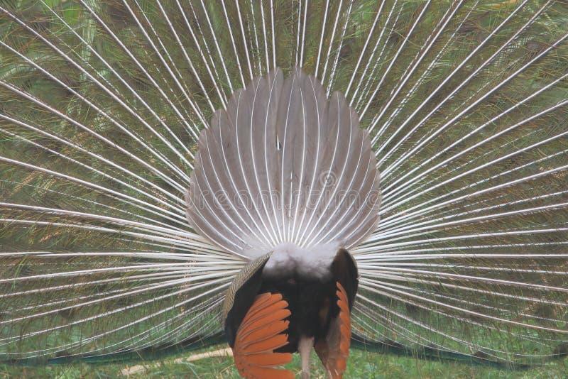 Bakre sikt av danspåfågeln royaltyfri fotografi