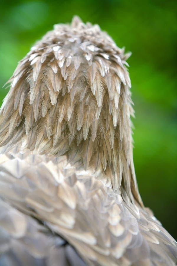Bakre sikt av den vit tailed örnen royaltyfri bild