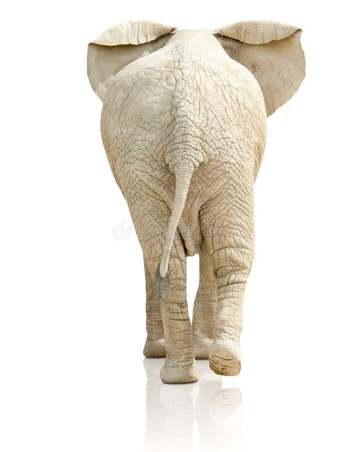Bakre sikt av elefanten royaltyfria bilder